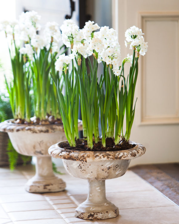 Paperwhites in a clay planter with a pedestal in an open doorway.