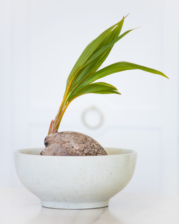 Sprouting coconut in a white bowl in a white kitchen.
